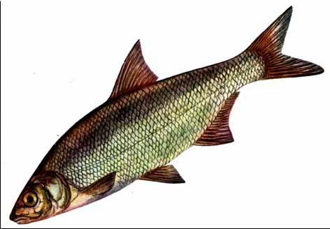 какая рыба в оби: